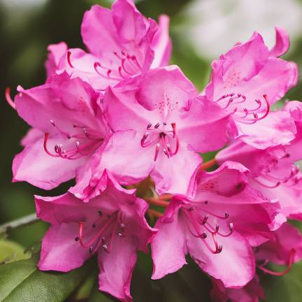 Rhododendron x Anah Rose With