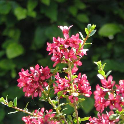 Escallonia laevis Pink Elle® 'Lades'